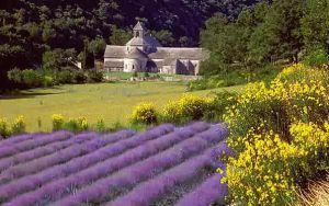 Lavender field provence private tour