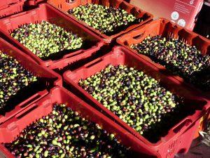 Olive farm Nice and olive oil tasting